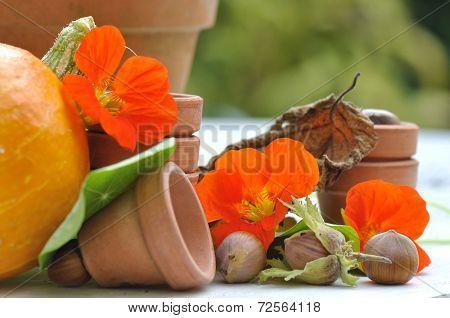 Nasturtium With Hazelnuts In Garden