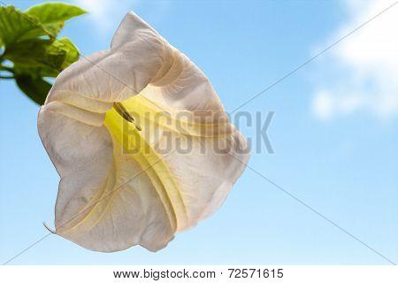 burgmansia versicolor