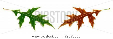Autumn And Spring Oak Leafs (quercus Palustris) Isolated On White Background