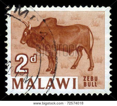 Zebu Bull