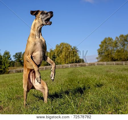 Great Dane standing in field on hind legs