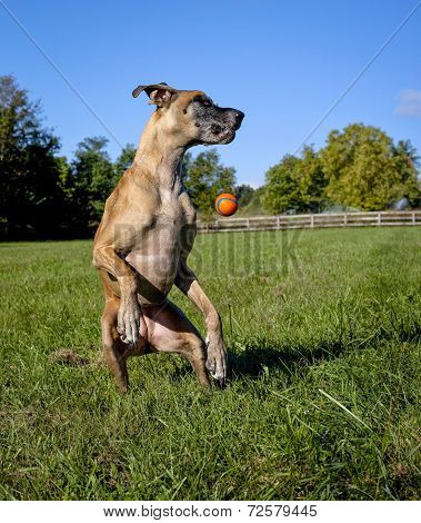 Great Dane on hind legs missing orange ball
