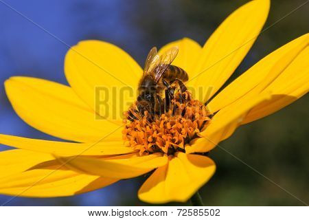 Bee Pollinating Yellow Rudbeckia Flower Blue Green Background