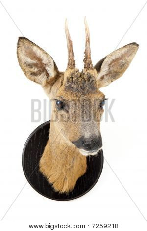Young Roe Deer Head