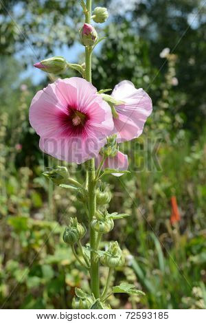 Hollyhocks blooming in perennial garden