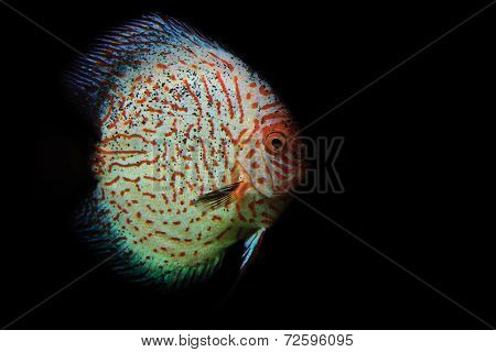Red and white discus fish on black background
