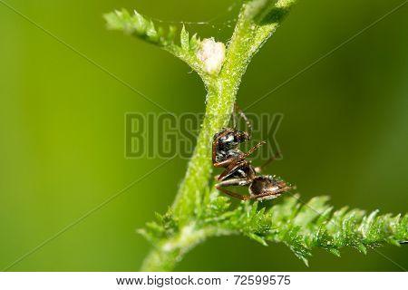 Resting Ant