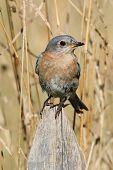 foto of bluebird  - Female Eastern Bluebird  - JPG