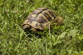 picture of green turtle  - Brown turtle creeps on green grass sunny summer afternoon - JPG