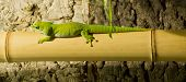 stock photo of gekko  - Closeup of a green lizard on bamboo