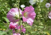 foto of hollyhock  - Hollyhocks blooming in perennial garden in summer - JPG