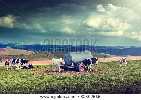 Agricultral Landscape With Cow Herd