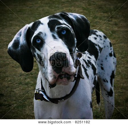 Blue-Eyed Great Dane