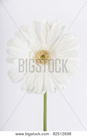 Studio shot of a white daisy Gerbera