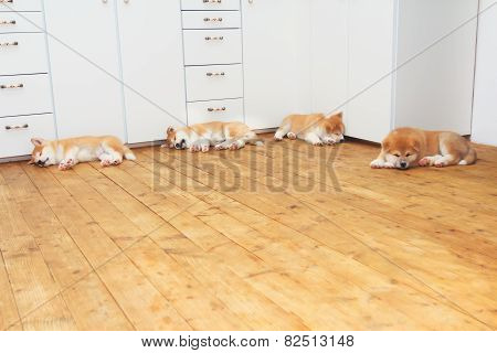 Four Sleeping Japanese Akita-inu Breed Dog Puppies