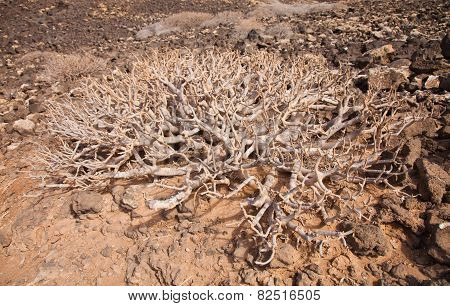 Spreading Leafless Bush Of Euphorbia Balsamifera, Tabaiba Dulce, Native To Canary Islands