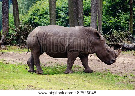 Adult Rhino In The Outdoor Aviary