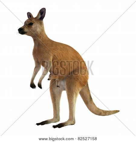 Red Kangaroo With Baby