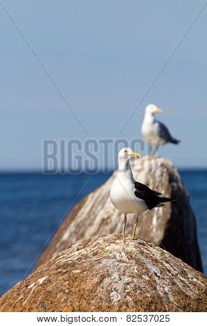 Rare Seagull Close Up. A Colony Of Birds With Voices