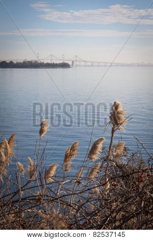 Sea oats growing along the shore with the Chesapeake Bay Bridge in Stevensville, Maryland in the background.