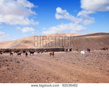 Goats Of Fuerteventura