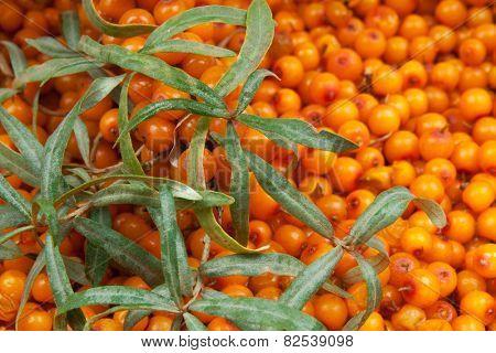 orange  sea-buckthorn with green twig