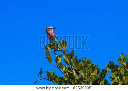 Lilac-breasted Roller Branch Tree