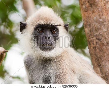 Langur monkey close-up