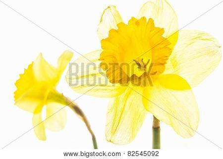 Two Yellow Daffodils Close Up