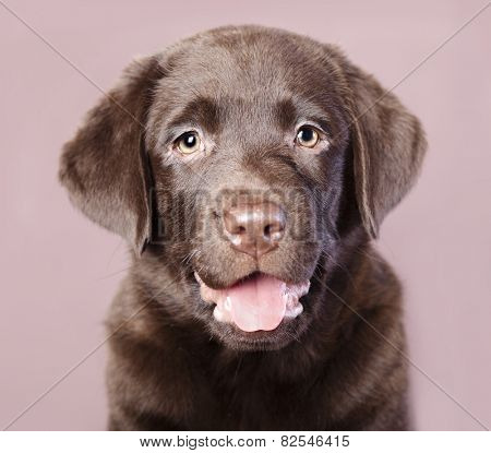 Chocolate Brown Labrador puppy portrait