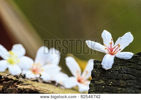 Taiwan Flower White Wood Blossom Black Yellow Outdoor Red