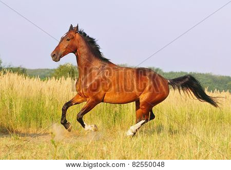 Bay Horse Running At Field In Summer
