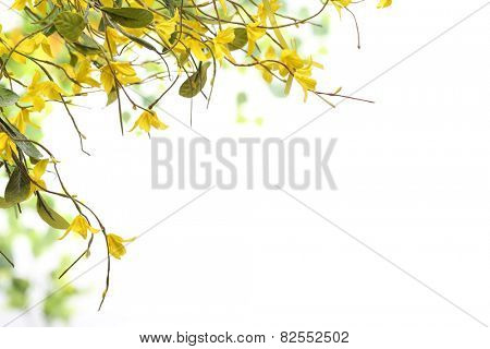 Spring yellow of blooming forsythia