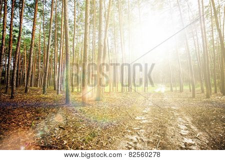 pine forest trees. nature green wood sunlight backgrounds.