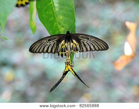 Golden Birdwing Butterfly Reproduction