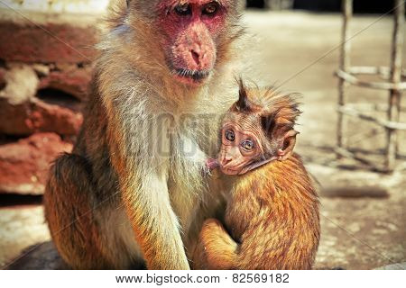 Baby monkey sucking its mother's milk