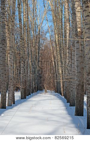 Poplar In Winter Forest