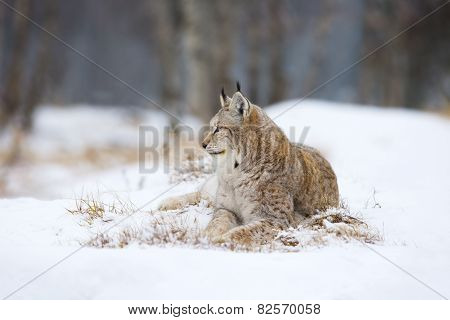 Lynx lies and rests in the snow