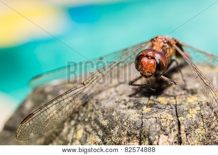Beautiful Dragonfly Detailed Shot. Macro Red And Blue Colors.