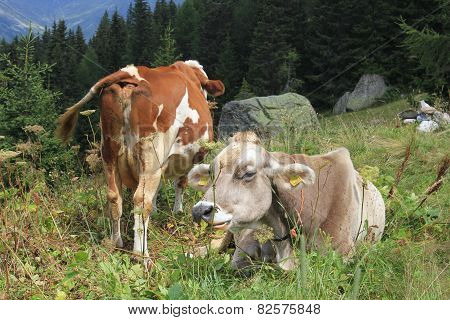 A Brown And A White Cow In The Grass