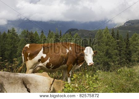 Brown And  White Cow In The Grass