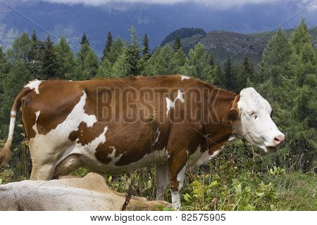 A Brown And  White Cow