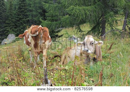 A Brown And A White Cow In The High Grass