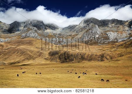 Cattle in Cordiliera Huayhuash, Peru, South America