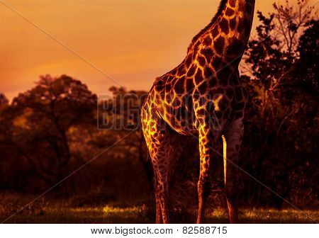 Gorgeous tall giraffe in bright orange sunset light, body part of animal with beautiful skin, beauty of african nature, exotic travel to South Africa