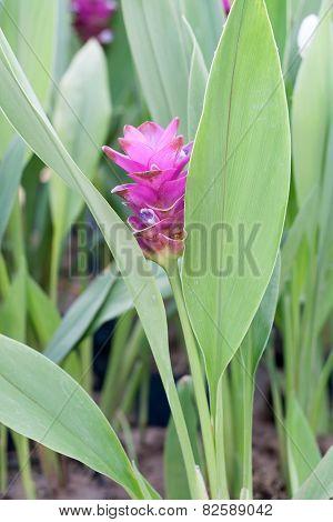 Curcuma Alismatifolia, Siam Tulip Or Summer Tulip In The Garden