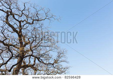 Winter treetops
