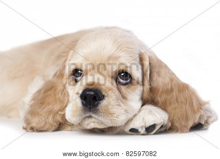 American cocker spaniel puppy