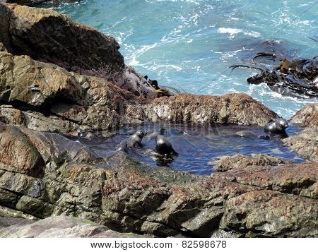 Fur Seal Pups Bathing, Ohau Point, New Zealand