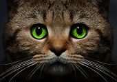 stock photo of black eyes  - Portrait of a cat Scottish Straight with green eyes closeup on a black background - JPG